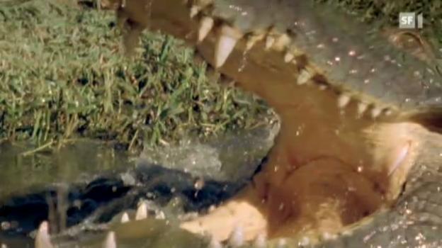 Video «Krokodil unter dem Messer» abspielen