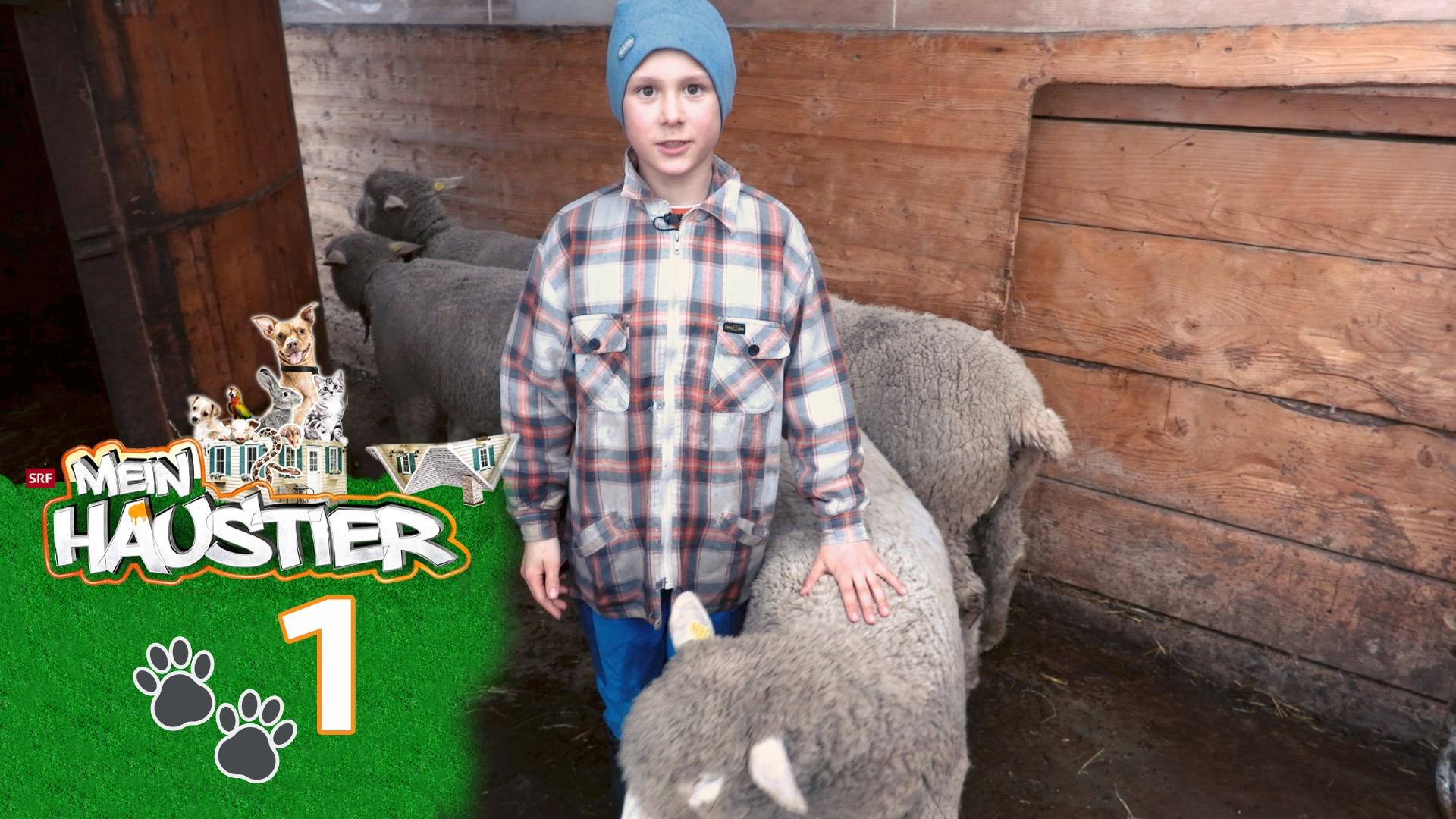 Ursin und seine vier Schafe