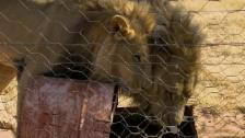 Link öffnet eine Lightbox. Video Harnas – Gesundheitscheck bei den Löwen abspielen.