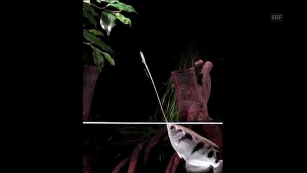 Video «Schützenfisch in Slow Motion» abspielen