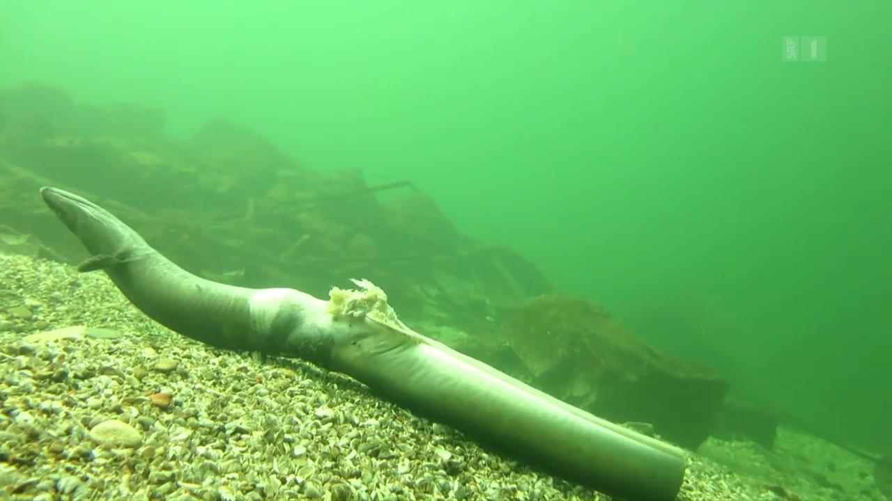 Todesfalle Kraftwerk: Tausende Aale verenden grausam