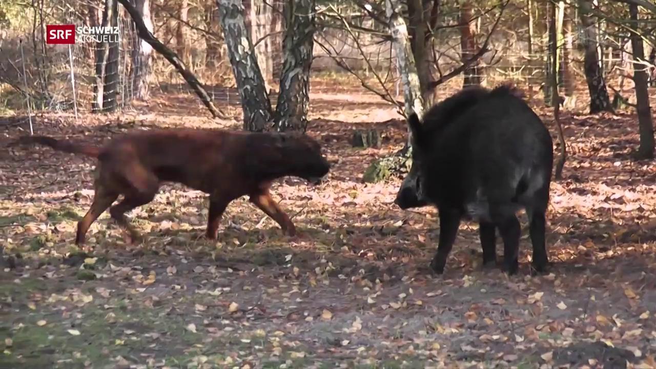Jagdhunde müssen Wildschweinjagd anderswo lernen