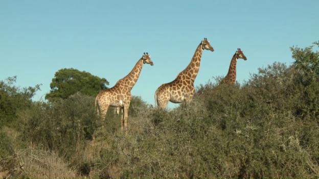 Video «Pätagei in Südafrika - Giraffen» abspielen