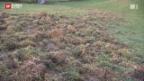 Video «Wildschweinplage» abspielen