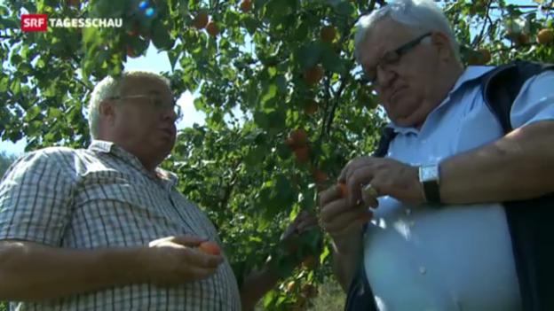 Video «Verhagelt: Glück im Unglück bei Walliser Aprikosenernte» abspielen