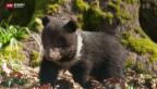 Video «Bären-Nachwuchs» abspielen
