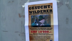 Video «Jagd auf Wolf-Wilderer » abspielen