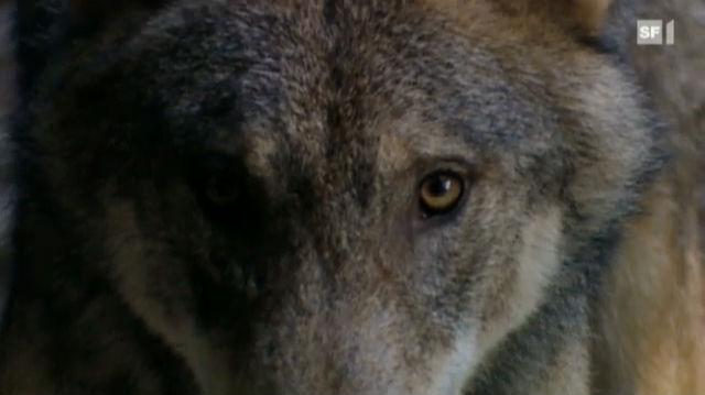 NETZ NATUR «Wer ist der Wolf?» (Schweizerdeutsch)