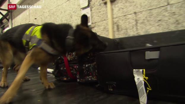Video «Etwas Illegales im Koffer? Diese Hunde riechen das.» abspielen