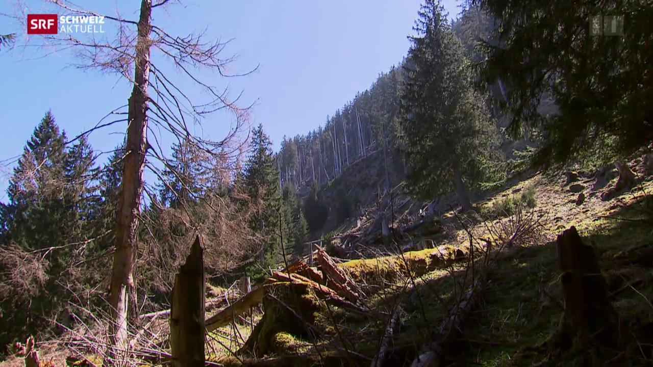 Wild frisst Schutzwald