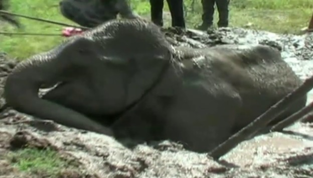 Video «Elefantenrettung mit Happy End (unkomm.)» abspielen