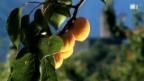 Video «Unterwalliser Aprikosen» abspielen