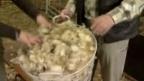 Video «Das Comeback der Wolle» abspielen