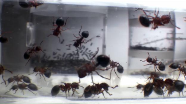 Video «Ameisen: Die heimliche Weltmacht» abspielen