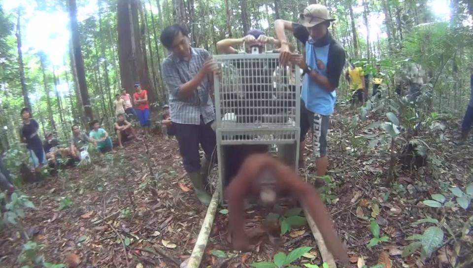 Orang-Utans auf dem Weg zurück in die Freiheit.