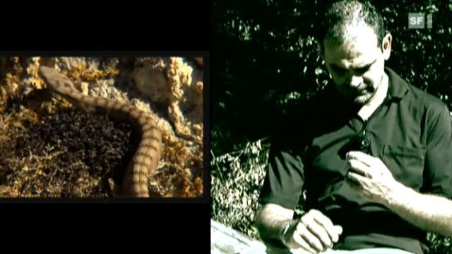 Beissen Schweizer Schlangen, geht es nur selten um Leben und Tod