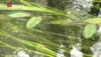 Video «Lago Maggiore voll Nanoplastik» abspielen