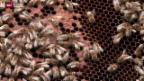 Video «Bienen leiden unter warmem Winter» abspielen