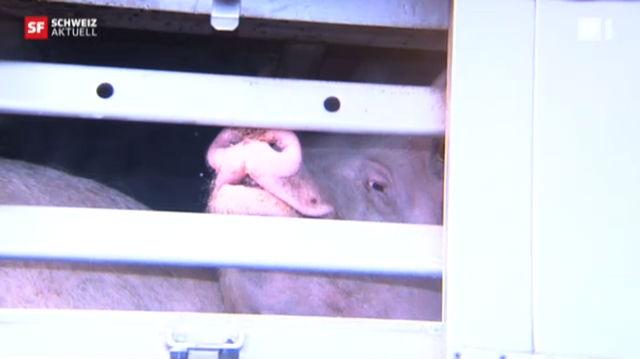Massenschlachtung wegen Schweineseuche
