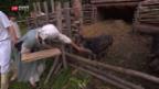 Video «Metzgen und Aufgeben» abspielen