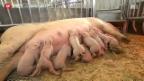 Video «Appenzeller Schweinezüchter verunsichert» abspielen