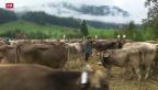 Video «Herausgeputzte Kühe für grösste Ostschweizer Viehschau» abspielen