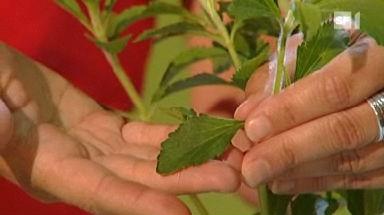 Video «Wunderpflanze Stevia» abspielen