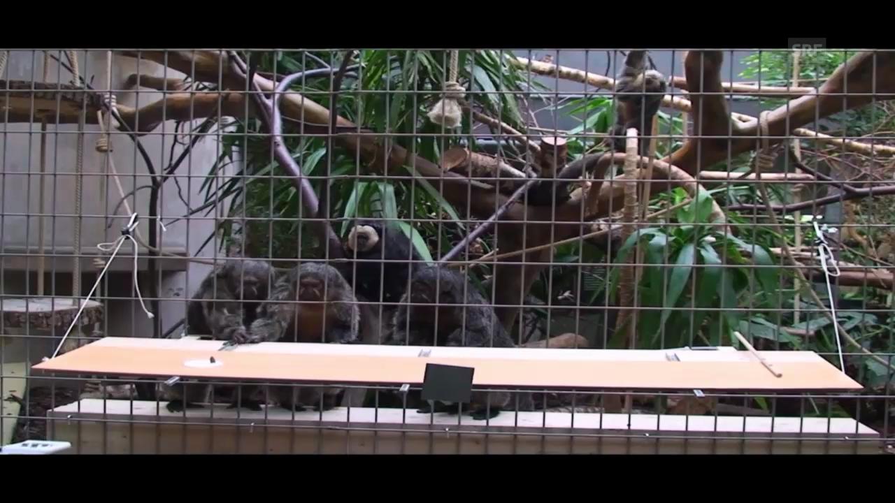 Altruismus bei Affen - das Experiment (UZH, J. Huber)