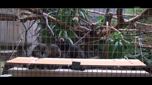 Video «Altruismus bei Affen - das Experiment (UZH, J. Huber)» abspielen