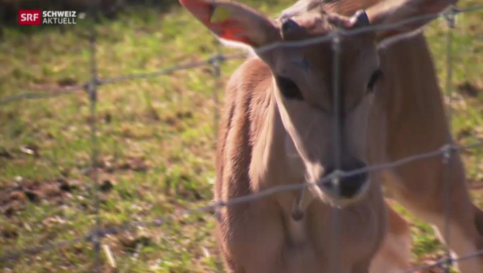 Erster Nachwuchs in Aargauer Antilopenzucht