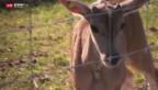 Video «Erster Nachwuchs in Aargauer Antilopenzucht» abspielen