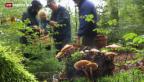 Video «Guter Start in Pilzsaison» abspielen