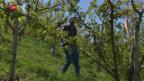 Video «Massive Frostschäden im Wallis» abspielen