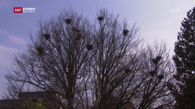 Video «Aarauer Krähen sollen bleiben» abspielen