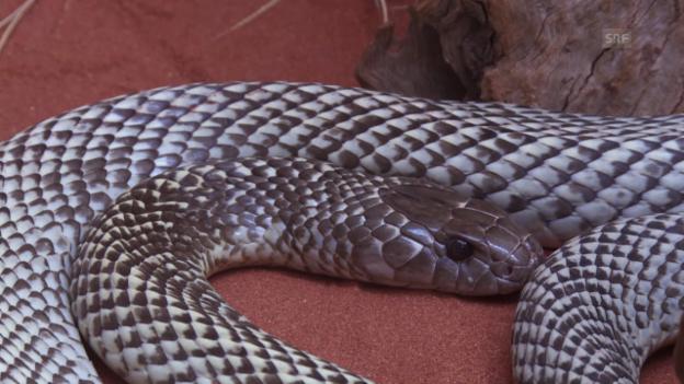 Video «Dringen die Schlangenzähne durch die Jeans?» abspielen
