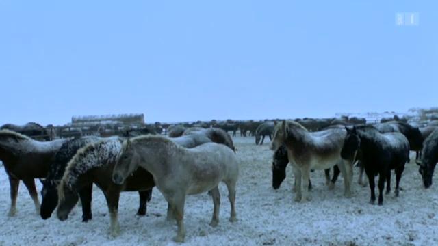 19.02.13: Tierquälerei auf Pferdefarmen: Erbarmungslose Fleischproduktion