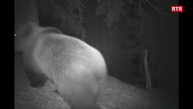 Laschar ir video «L'urs è turnà en Surselva»