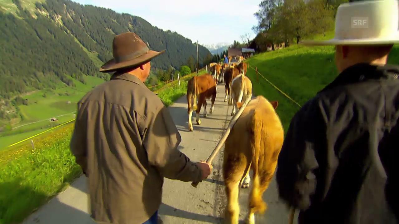 Die «Jobtausch»-Cowboys beim Kühetreiben