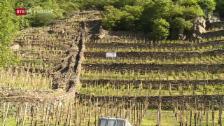 Laschar ir video «Grond donn per in viticultur da la Val Puschlav»