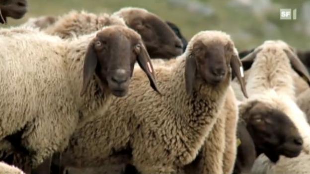 Video «Kopf und Kragen für tausend Schafe» abspielen