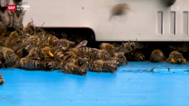 Video «Mehr Nahrung für hungrige Bienen» abspielen