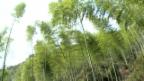 Video «Bambus für die Schweiz» abspielen