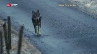 Video «Konflikt zwischen Jägern und Förstern» abspielen