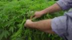Video «Kolumbien – Cannabis für die Welt» abspielen