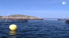 Video «Zuchtfisch ist kein Mittel gegen Überfischung » abspielen