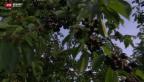 Video «Rekord-Ernte für Kirschen erwartet» abspielen