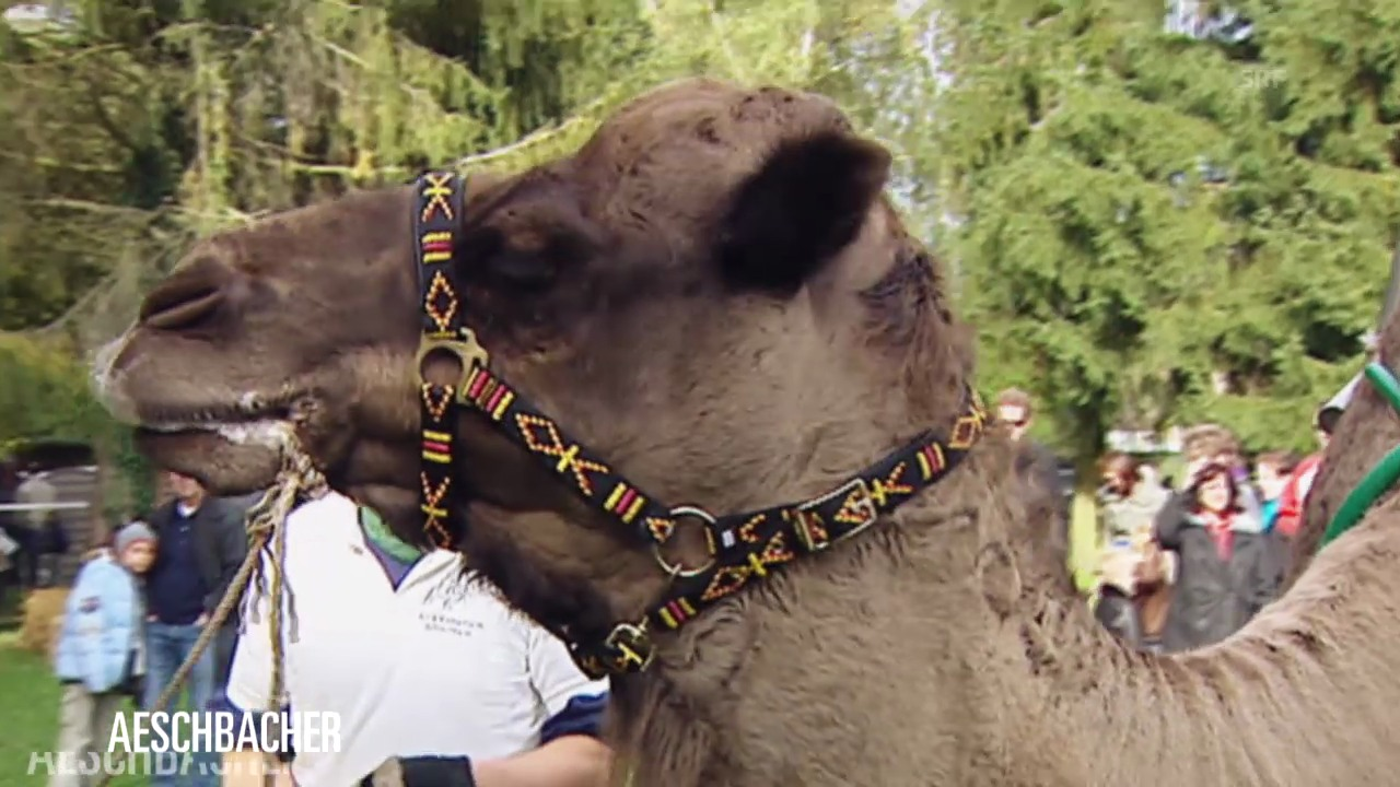 Kamele bei «Aeschbacher»