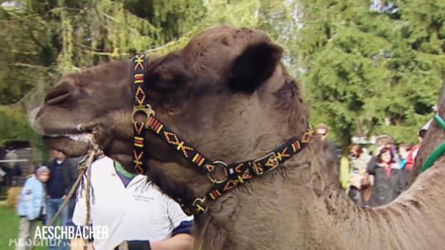 Video «Kamele bei «Aeschbacher»» abspielen