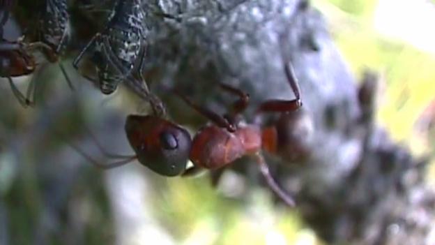Video «Ameise – ohne sie geht nichts» abspielen