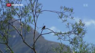 Video «Immer weniger Vögel» abspielen
